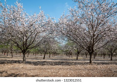 Almonds Orchard, white flowers