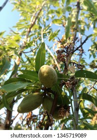 Almonds ripening on the tree under the sun of Spain. European fruit industry. Outdoor.