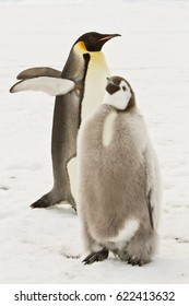 almost adult Emperor penguins