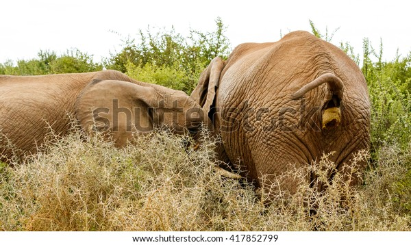 Almost done Pooping - The African bush elephant is the larger of the two species of African elephant. Both it and the African forest elephant have in the past been classified as a single species.