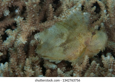 Almost every Scorpionfish use the mimicry as main hunting tool, waiting for the prey.
