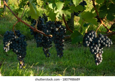 almost ripe bunch of Dolcetto in Dogliani in the Langhe