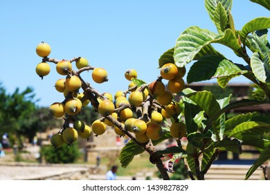 Almost ripe loquats fruits on the tree among the leaves in the background blue sky. Unripe loquats in the tree.