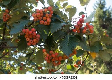 Almost ripe orange fruits of Sorbus aria