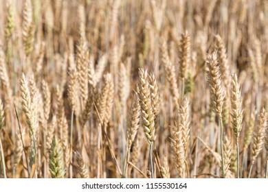Almost ripe wheat field closeup