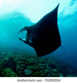 An almost totally black manta ray turns in silhouette in front of the cam,era displaying its gill slits - Eagle Rock, Raja Ampat, West Papua, Indonesia