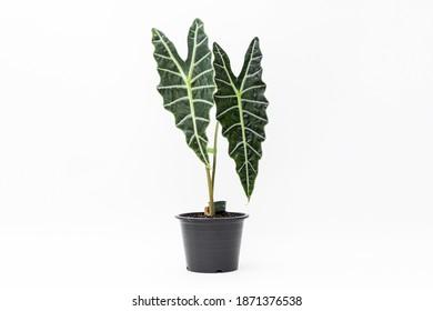 Alocasia Amazonica plante dans un pot en plastique noir sur fond blanc isolé
