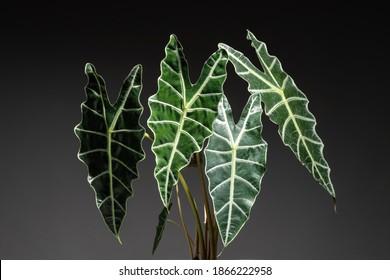 Alocasia Amazonica Sanderiana en gros plan de la feuille de feuillage sur fond noir isolé
