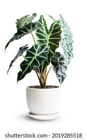 Alocasia Amazonica Sanderiana Plant dans un pot en céramique blanche isolé sur fond blanc. Alocasia sanderiana bull avec grande plante de purificateur d'air de feuilles vertes à l'intérieur.
