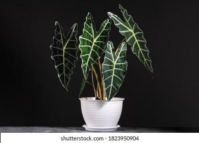 Alocasia Amazonica Sanderiana dans des pots en plastique blanc avec fond noir isolé