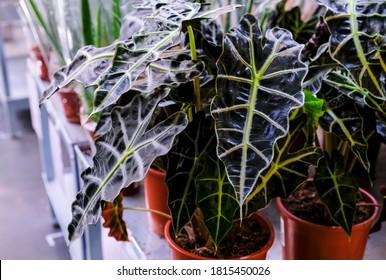 Alocasia Amazonica, plante du sud-est asiatique, Oreille d'éléphant, Masque d'Afrique, plante d'intérieur en gros plan dans une marmite. Vente dans le magasin. Mise au point sélective