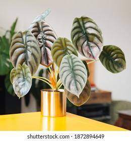 Alocasia Cuprea (Alocasia Red Secret) in golden planter