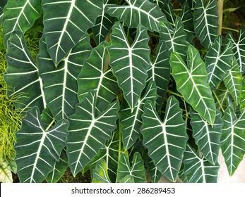 Alocasia Green Velvet - Shutterstock ID 286289453