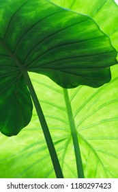 Alocasia indica or giant taro green leaves background