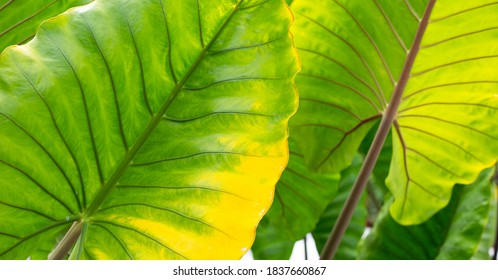 Alocasia macrorrhizos or Giant Taro or giant alocasia leave background.