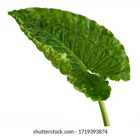 Alocasia macrorrhizos leaf(  Elephant ear, Giant taro, Giant alocasia)Tropical foliage isolated on white background,with clipping path.