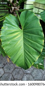 Alocasia odora (also called night-scented lily, Asian taro or giant upright elephant ear) is a flowering plant native to East and Southeast Asia. Can be used as medicine for common cold