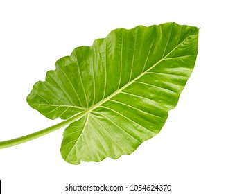 Alocasia odora foliage (Night-scented lily or Giant upright elephant ear), Exotic tropical leaf, isolated on white background with clipping path