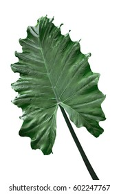 Alocasia Odora  Giant Upright Elephant Ear, Night-scented Lily leaf isolated on white