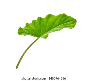 Alocasia odora (Night-scented lily or Giant upright elephant ear) leaf with stalk isolated on white background. Clipping path.