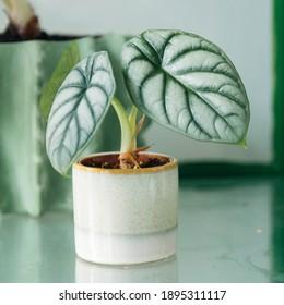 Alocasia Silver Dragon (Alocasia Baginda) - juvenile plant with two distinct leaves in mint green pot in glasshouse .