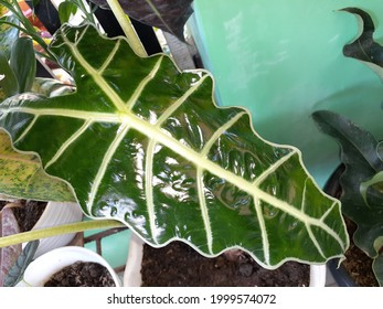 L'Alocasia x amazonica possède des feuilles de bronze foncé en forme de pointes ondulées, en forme de pointes ondulées, de couleur bronze foncé (jusqu'à 16 pouces de longueur) avec des veines principales noires, contrastées, épaisses, blanches ou vert argenté.