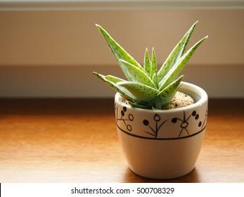 Aloe albica on window, decorative succulent in pot, flower, plant decoration in flat