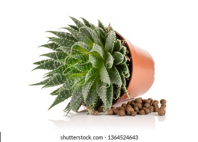 Aloe aristata plant in a pot with pebbles near isolated on white background