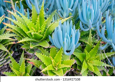 Aloe and Blue Chalk Sticks (Senecio serpens) plants - contrasting fresh green close-up background.
