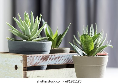 Aloe brevifolia succulent and snake plant in living room