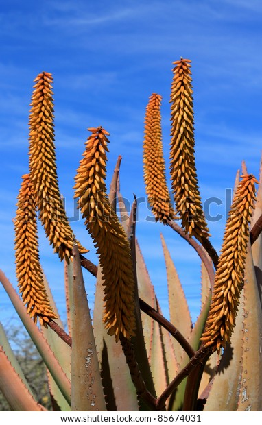 Aloe Ferox plant detail (Species distributed throughout a large area along the eastern regions of Southern Africa)