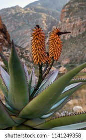 Aloe Ferox in the Seweweekspoort pass , Klein-karoo, Little Karoo, Route 62, Western Cape, South Africa.