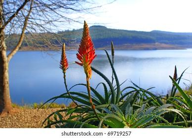 Aloe flower in South Africa