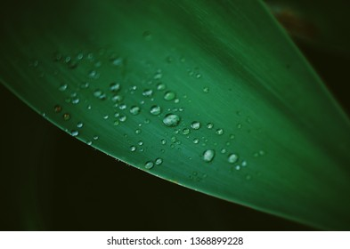 Aloe leaves. Moody deep green color, vsco film style. Succulent, morning dew or rain on it. Close up, macro, 50 mm. Black background. Abstract wallpapers, botanical and floral style.