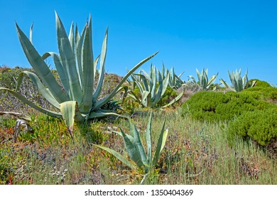 Aloe plants in the fields from Alentejo in Portugal