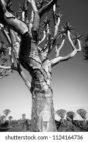 Aloe, quiver tree, with strong trunk and spikey leaves forms a modern structure in the arid landscape in  Keetmanshoop, Namibia, Africa in black and white.