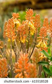 Aloe shiny coppery yellow rosettes