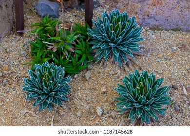 Aloe Somaliensis and Aloe Quicksilver. tropical green plants tolerate hot weather.