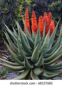 Aloe succotrina - Orange flowers on Aloe Vera in Southern California