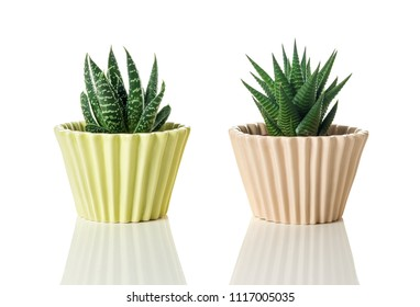 Aloe succulent plants in pastel colored pots, on white background with reflection.