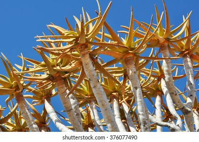 Aloe tree branches in southern Namibia