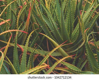 Aloe vera abstract background