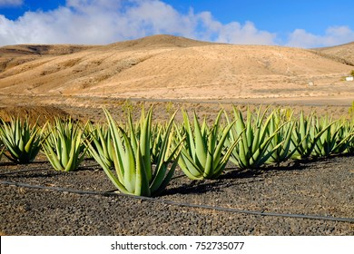 Aloe vera farm on the Canary Island Fuerteventura, Spain.