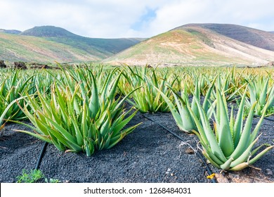 Aloe Vera fields plantation in Lanzarote, Canary Islands, Spain.