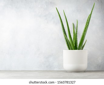 Aloe Vera in a flowerpot on grey table and grunge grey wall background with copy space.