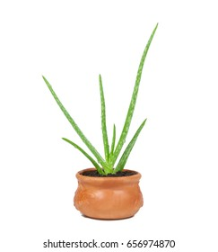 Aloe vera is a herb in pot with water drop on background