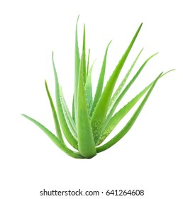 aloe vera isolated on white background, focus stack added