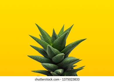 Aloe Vera isolated on a yellow background