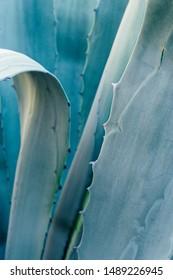 Aloe vera plant close up