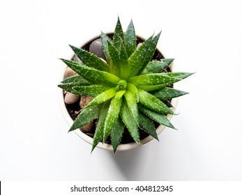 Aloe vera plant flower - isolated